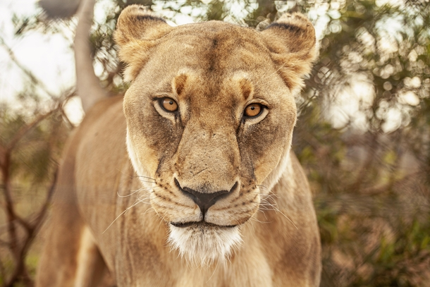 The most stunning lioness youll ever see Miss Amy