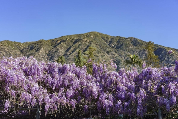 The Sierra Madre Wistaria Wisteria sinensis the worlds largest blooming plant