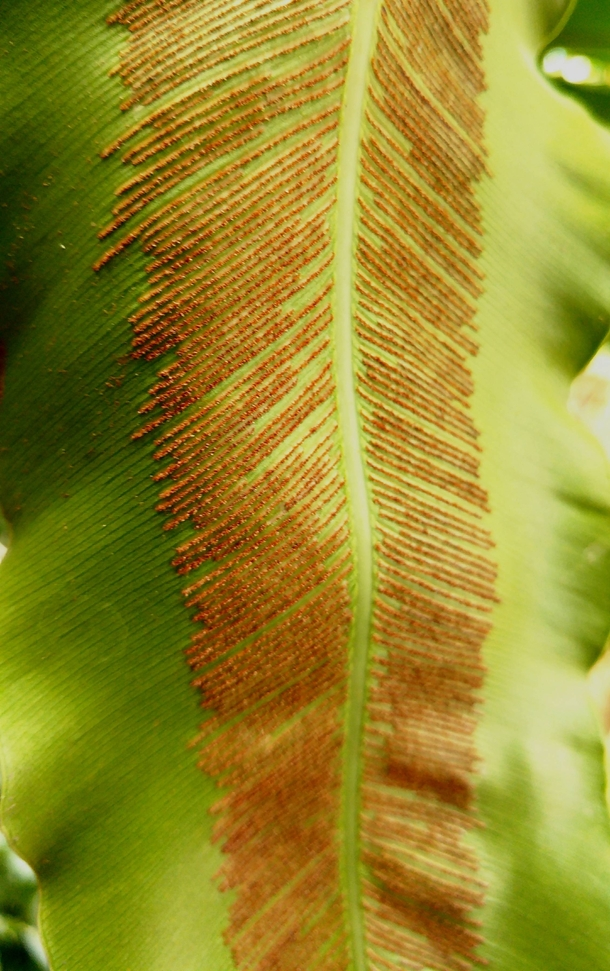 The sporangium on the leaves of Bird Nest fern Asplenium nidus