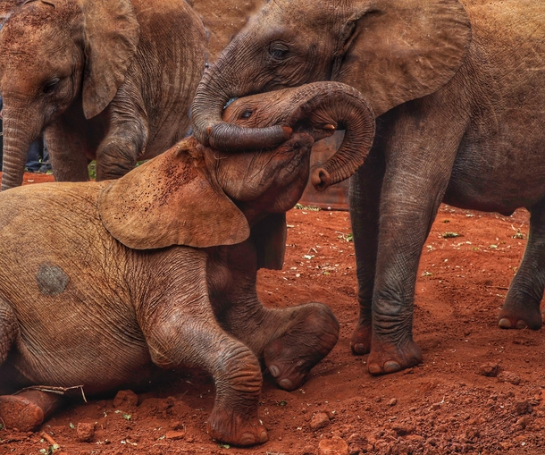 These two juveniles playing at Sheldrakes elephant rescue in Nairobi The one on the right neatly lost its trunk in a snare  The wound is healing nicely