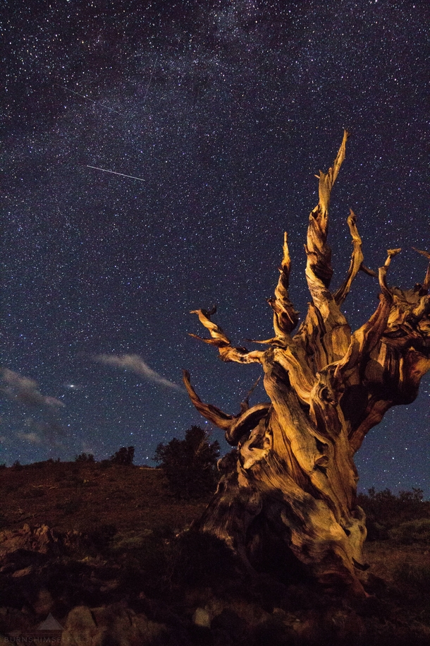 This particular tree is estimated to have lived over  years The intense weather high altitude climate and nutrient poor soil allow the Ancient Bristlecone Pines to thrive in this environment where hardly anything else can survive