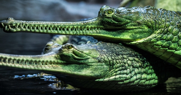 Two gharials the giant critically endangered Indian crocodiles in their basin in the Prague zoo Czech Republic