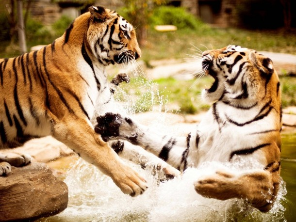Two Tigers Playing Together