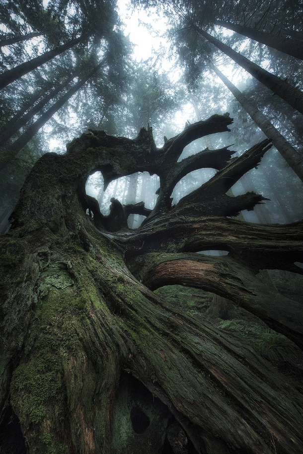 Verdant Relic in the misty forest North Vancouver BC  IG tristantodd