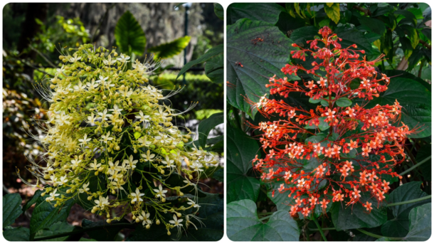 White and Red Pagoda Flowers Clerodendrum paniculatum