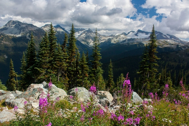Wildflowers on Whistler Mountain BC