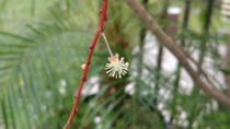 A single Croton Codiaeum variegatum flower