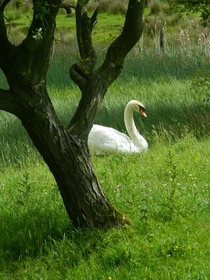 A Swan in a clearing laying by a tree