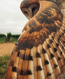 Barn Owl showing off its feathers