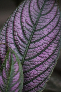 Beautiful Persian Shield