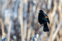 Below Red-winged Blackbird