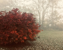 Burning bush on a foggy morning