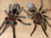 Chilean Rose Tarantula and moult Grammostola rosea yrs old x