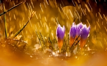 Crocus buds in the rain