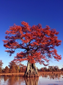 Cypress tree in the fall I kayaked an hour just to get this photo in the swamp of Louisiana OC