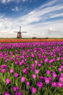 Dutch Classic  Tulips and a windmill under a beautiful sky