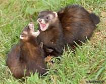 European Polecats playfighting mustela putorius -
