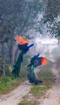 Fighting Peacocks