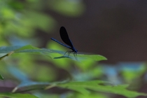 First picture I ever attempted at taking insect pictures definitely happy with the results Broad Winged Damselfly