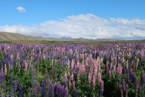 Found this flowery field on my way to lake Tekapo New Zealand it smells lovely