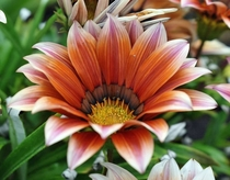 Gazania rigens - also known as the treasure flower