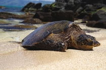 Green Sea Turtle basking in the sun West Maui