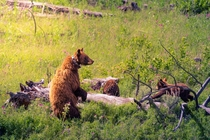 Happy Birthday Yellowstone Got to see this mama bear and her adorable cubs on my trip last year