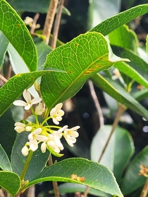 Its an Osmanthus a tree that grows in my front yard and it smells like sugar plums Enjoy plant people