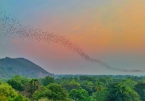 million bats fleeing their cave to grab dinner at nearby rainforest Battambang Cambodia