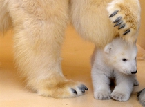 months old polar bear cub Ursus maritimus emerges from her birth cave for the st time Bremerhaven Zoo Germany  x-post rpolarbears