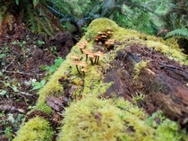 Mushrooms growing on rotting log in point defiance Washington state x