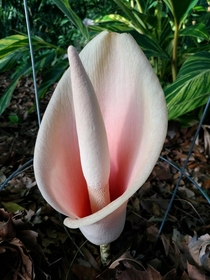 My Voodoo lily Amorphophallus bulbifer flowering Pretty but it stinks
