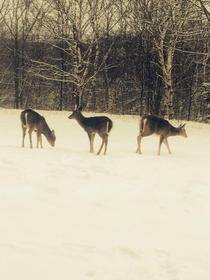 Nova Scotia Canada City deer basically our neighbors