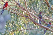 of a kind - Crimson Rosellas in a gum tree