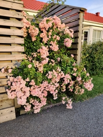 Our wonderful rose bush in the evening sun This year without any attack from aphids