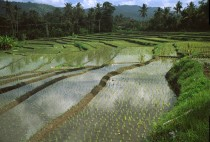 Rice fields near Tabanan Bali Indonesia  Viktor