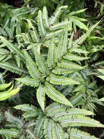 Silver brake ferns Pteris argyraea
