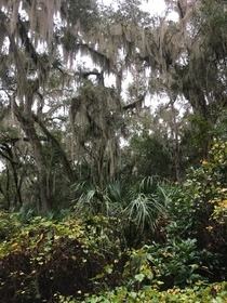 spanish moss hanging off of trees in Titusville florida