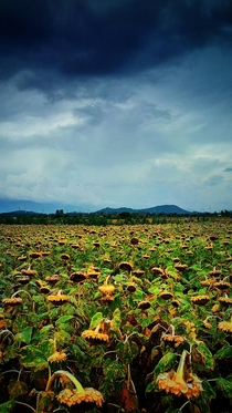 Sunflower Fields Tamil Nadu India