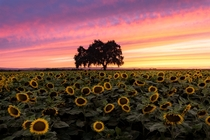 Sunflowers blooming in Californias Central Valley