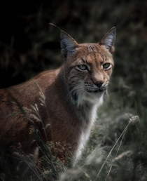 the majestic Eurasian lynx