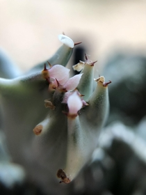 The minuscule flowers of the Euphorbia lactea Cristata coral cactus macro x
