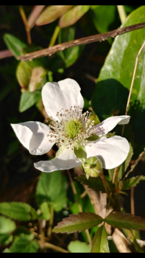 The wild brambles Rubus sp are already blooming Spring comes early in Florida