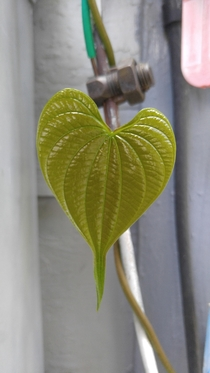 This heart shaped newly emerging Dioscorea leaf