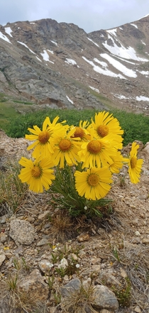 This perfect bouquet of flowers near  feet around Leadville Colorado
