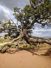 this tree doing all it can to survive on a mountainside in New Mexico OC