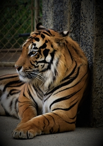 Tiger at an Oregon Zoo