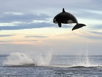 ton Orca jumping ft out of the water