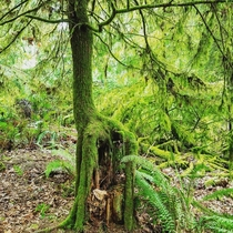 Tree growing out of a dead tree trunk in point defiance Washington state x
