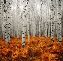 via 500px  Photo Aspen Forest by Chad